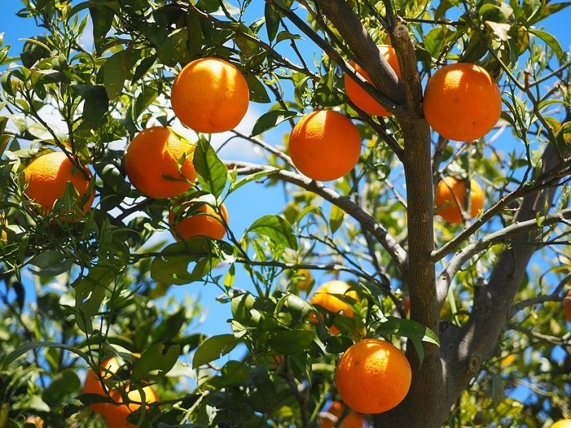plantas citricas que no dan frutos