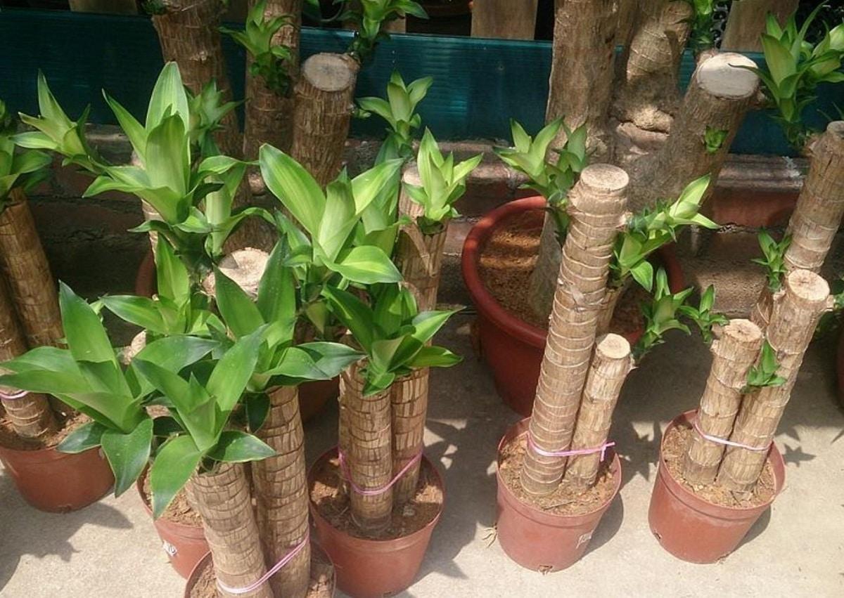 como podar plantas de interior caracteristicas