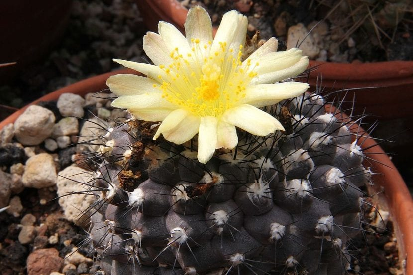 Ejemplar de Copiapoa hypogea en flor