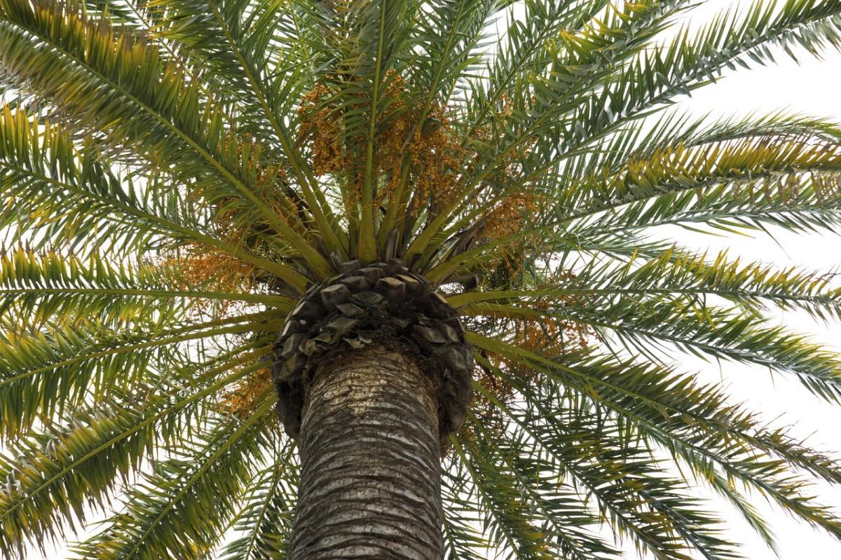 Hay palmeras que no soportan la sequía