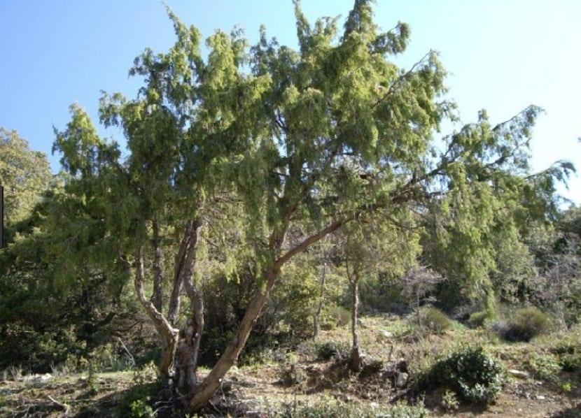 La familia de esta conífera se llama cupressaceae
