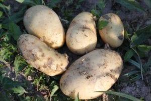 enfermedades diferentes de la patata