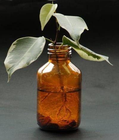Esqueje de Ficus en agua