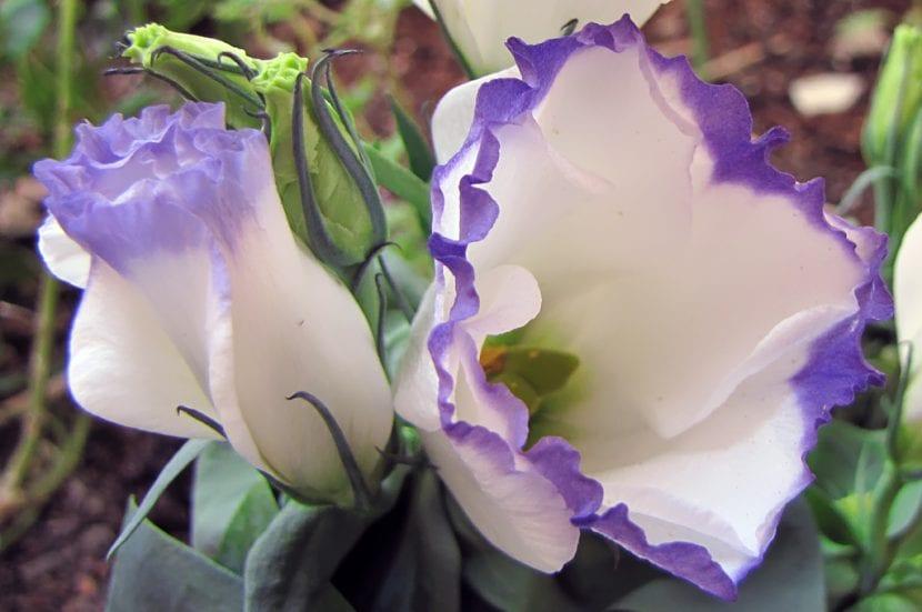 Vista de la flor del lisianthus