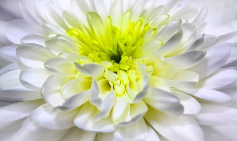 Los crisantemos son unas flores muy bonitas