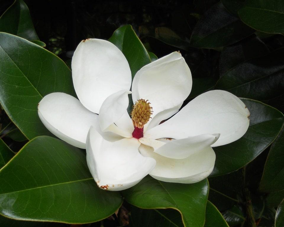 La magnolia es un árbol que realmente no requiere de mucha poda