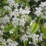 Flores de Prunus mahaleb