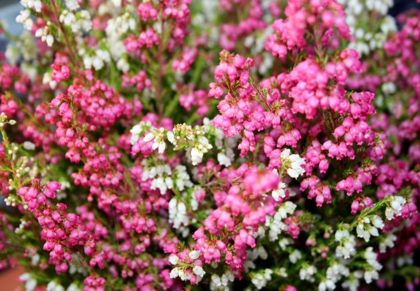 Flores de la planta de brezo