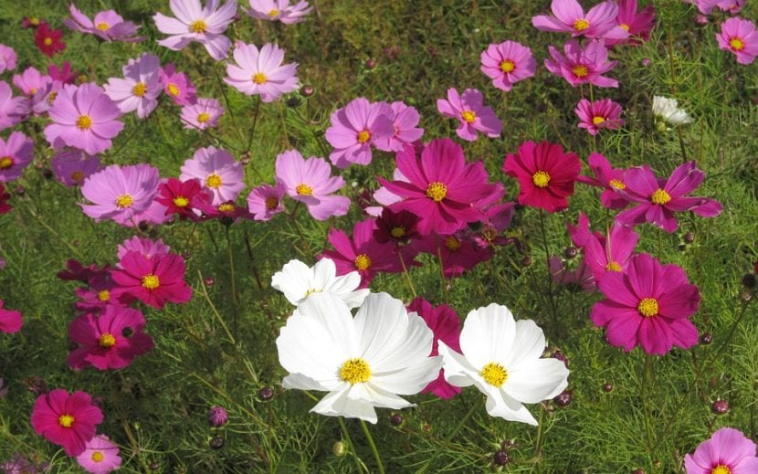 Flores de Cosmos