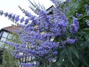 Flores de Vitex agnus-castus