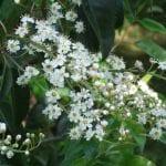 Prunus lusitanica en flor