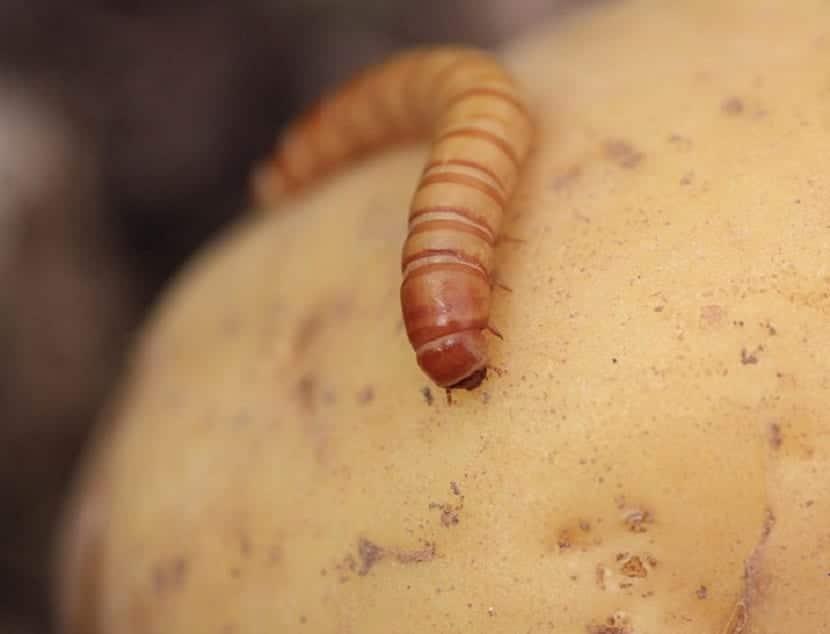 gusanos de la patata