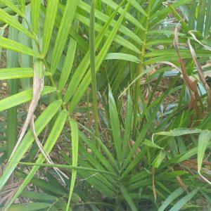 Las palmeras se adaptan a las condiciones