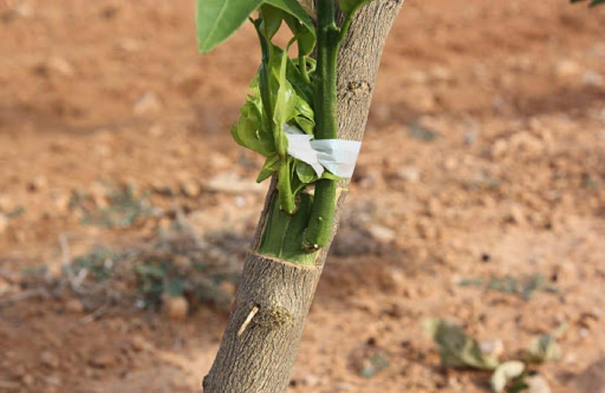 injerto del naranjo en jardineria