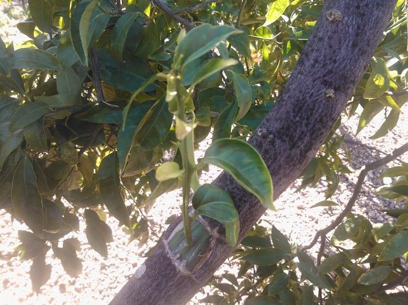 injerto en naranjo
