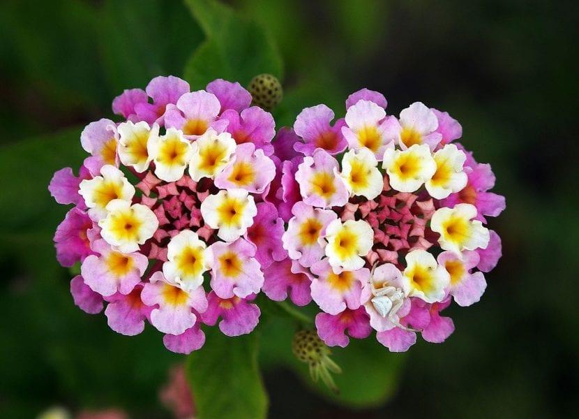 Lanta de flor rosa