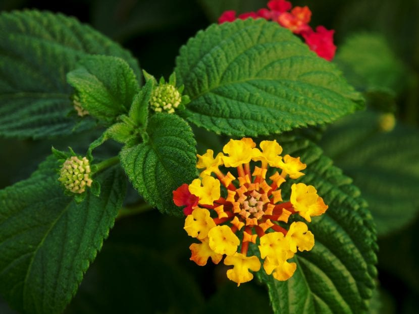 Lantana de flor amarilla