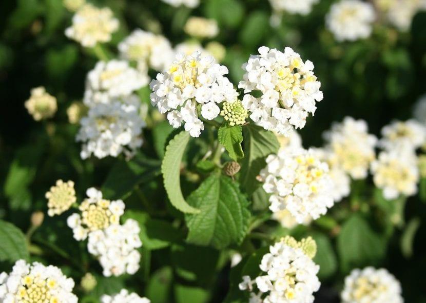 Lantana de flor blanca