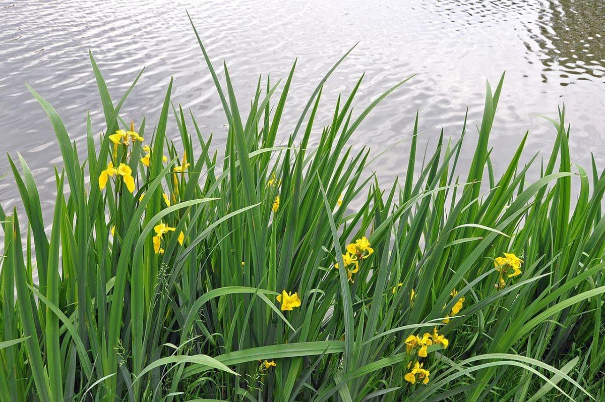 El lirio amarillo es una planta ideal para estanques