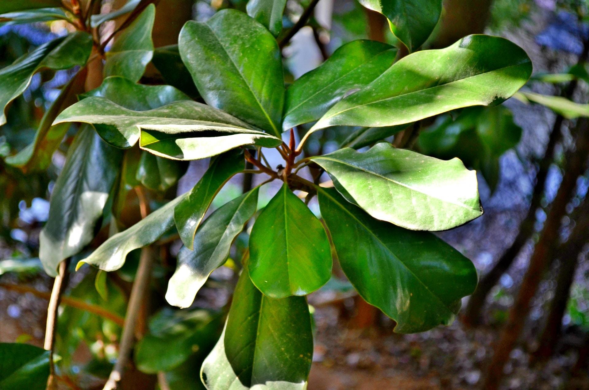 La magnolia es un árbol que hay que podar solo si es necesario