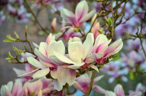 La magnolia se poda en otoño