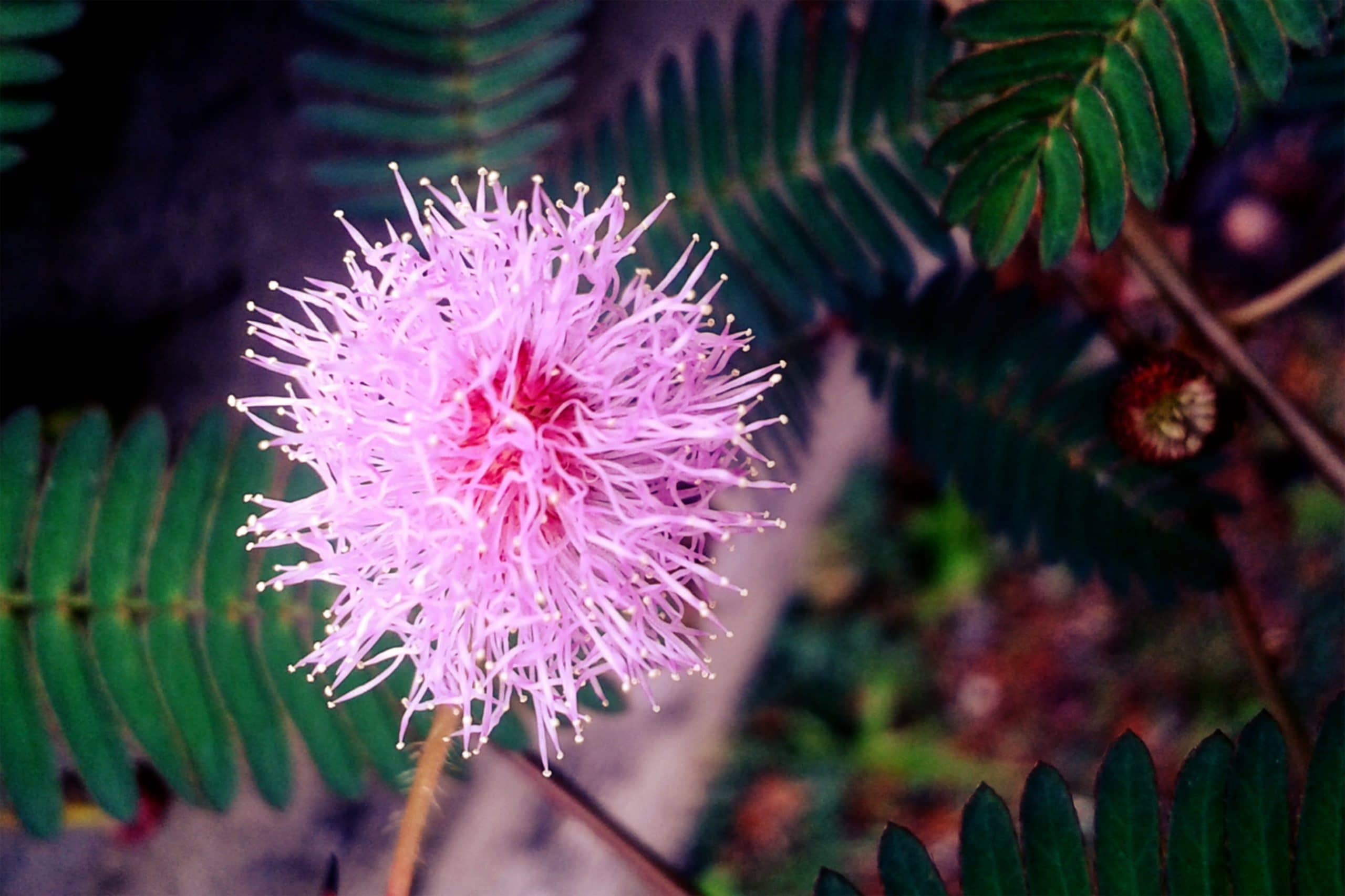 La mimosa es una hierba ornamental