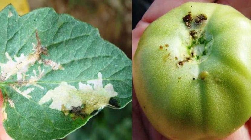 estos insectos ocasionan muchos danos a los tomates