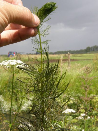 La planta acuática Myriophyllum vive sumergida
