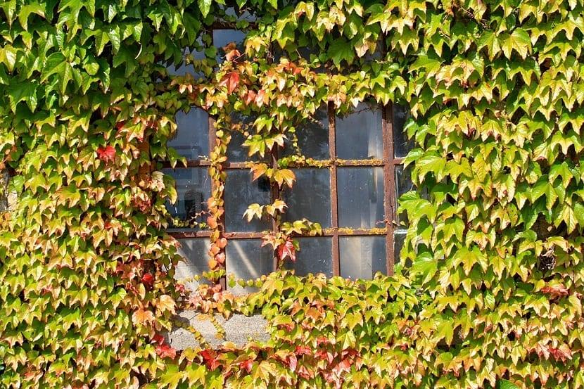 Enredaderas tipos caracter sticas c mo trepan y m s for Plantas perennes exterior