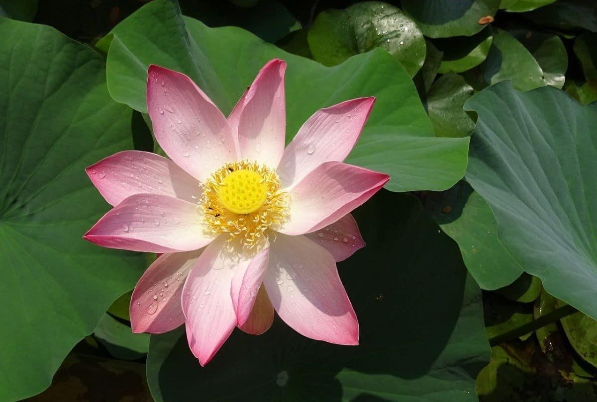 El Nelumbo nucifera es una planta acuática para estanques grandes