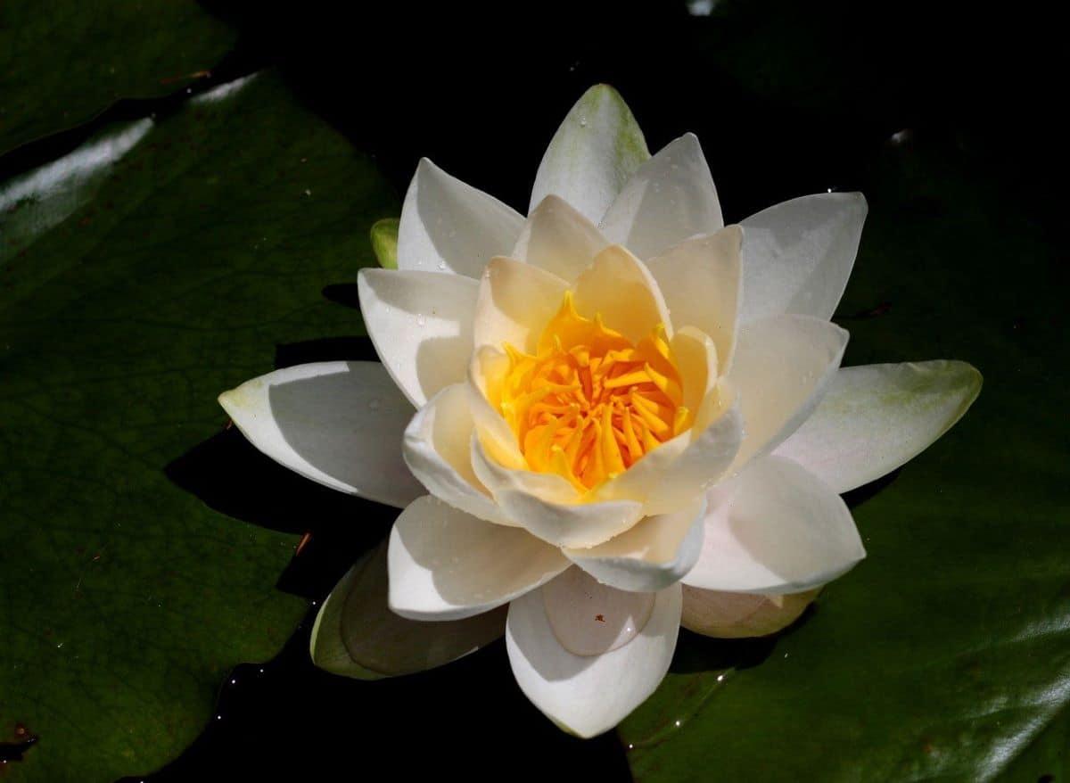 El nenúfar blanco es una planta de aguas profundas