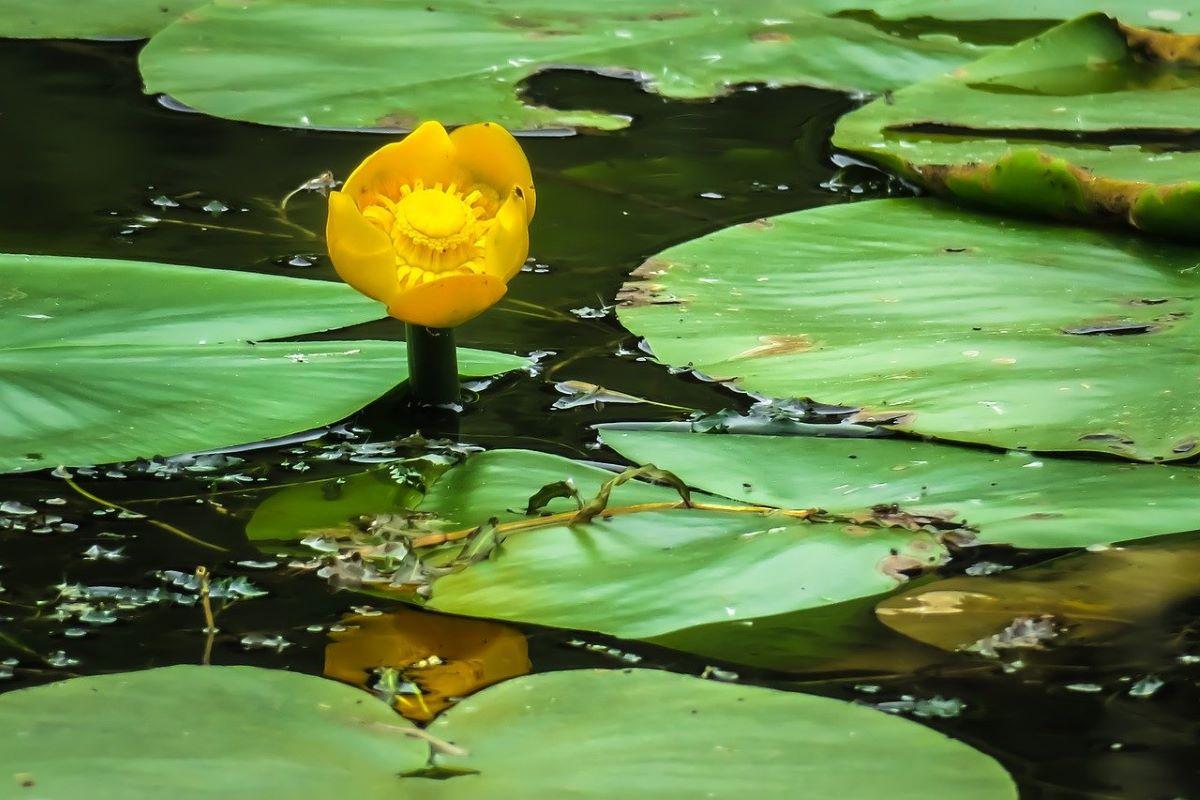 El Nuphar lutea es una acuática de flores amarillas