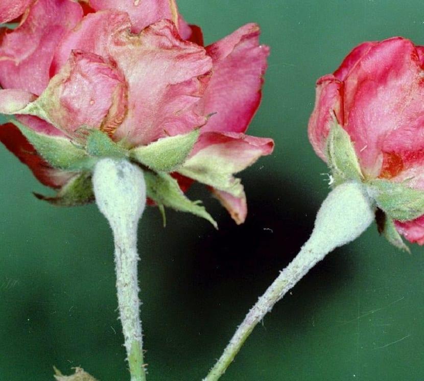 enfermedad el oidio en rosales