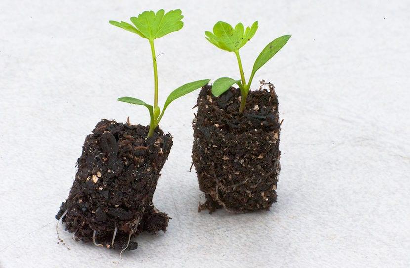plantas para trasplantar