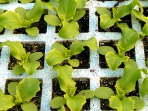 plantones para cultivar