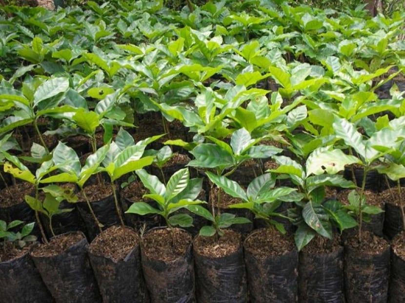 plantones cultivados