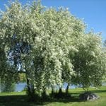 Árbol de Prunus padus en flor