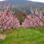 Vista de ejemplares de Prunus persica en flor