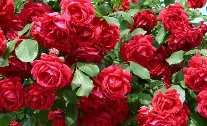 rosales y sus enfermedades