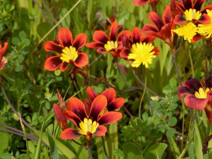 Sparaxis tricolor en flor