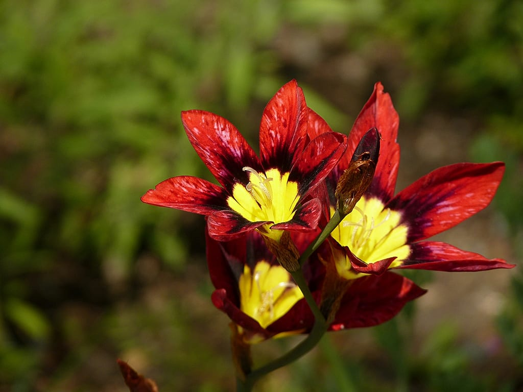 Flores rojas de Sparaxis tricolor