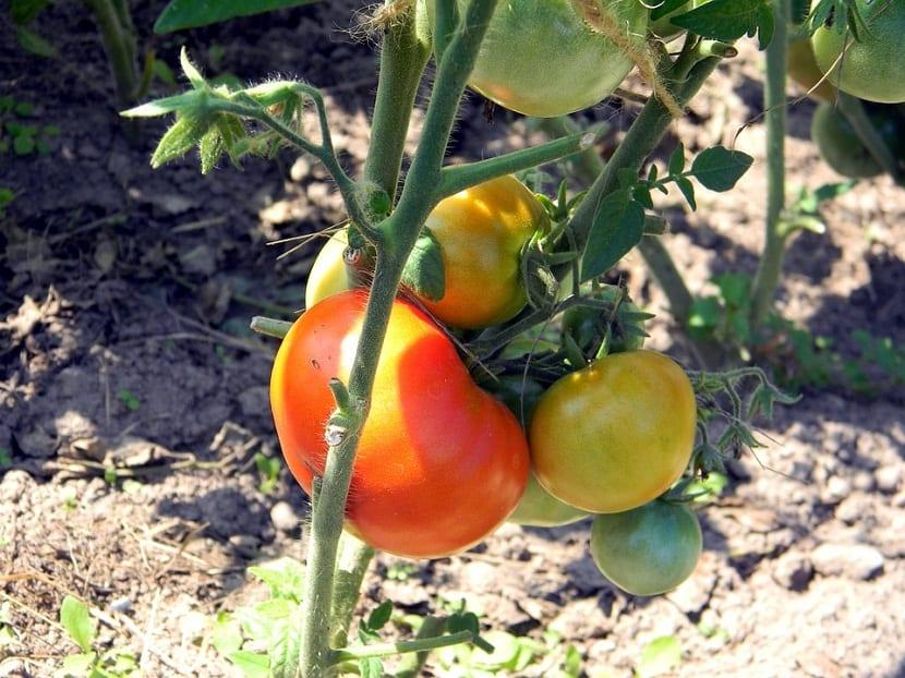 cultivo del tomate en rama