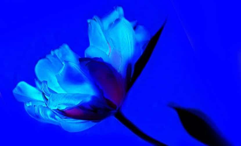 Tulipán azul