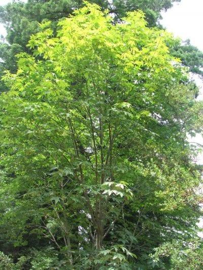 Ejemplar joven de Acer macrophyllum