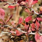 Berberis thunbergii en otoño