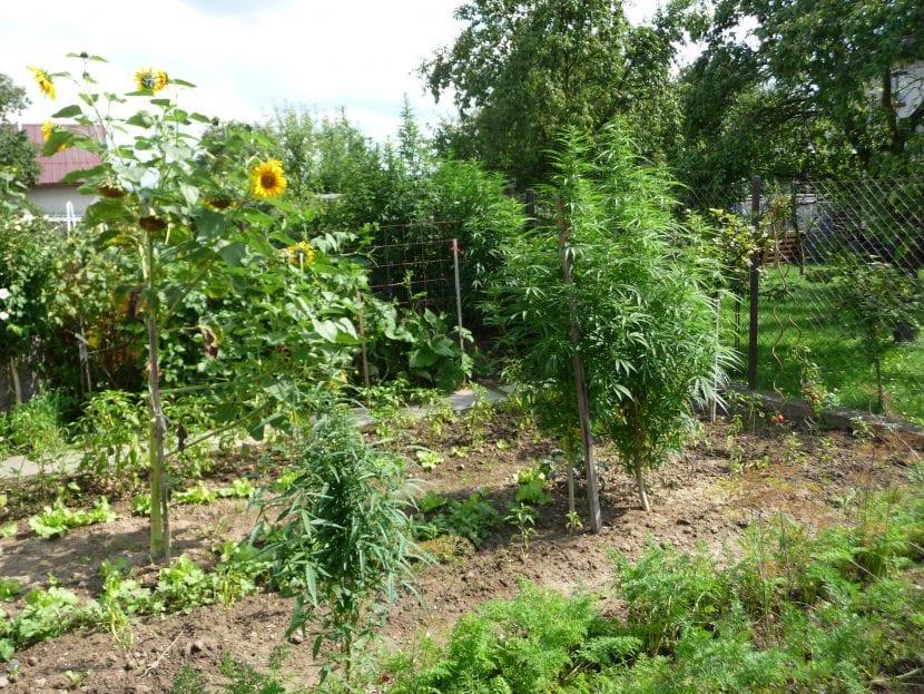 Plantas de Cannabis plantadas en el suelo
