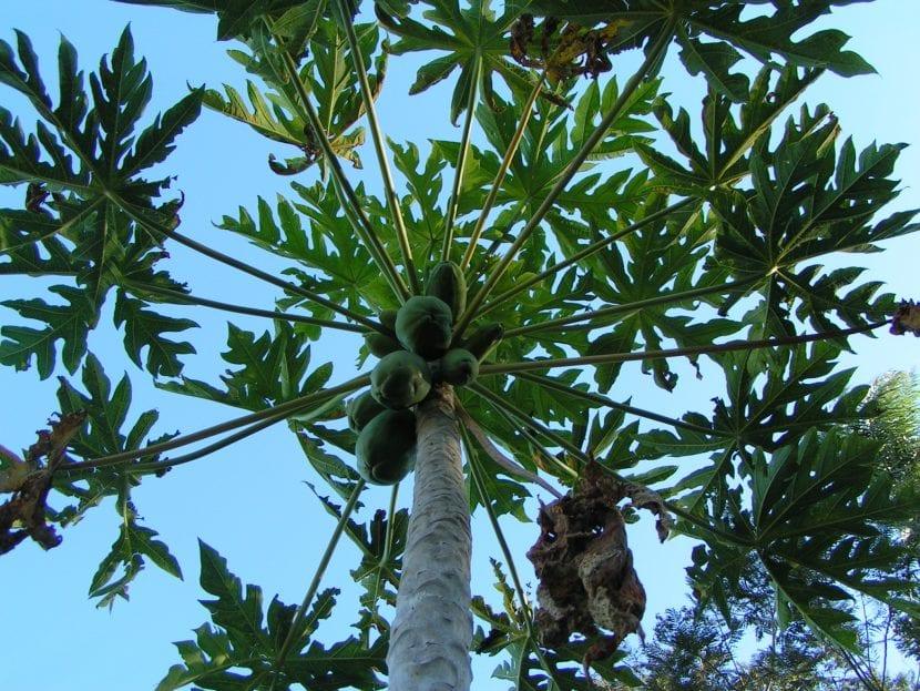 Frutos y follaje de Carica papaya