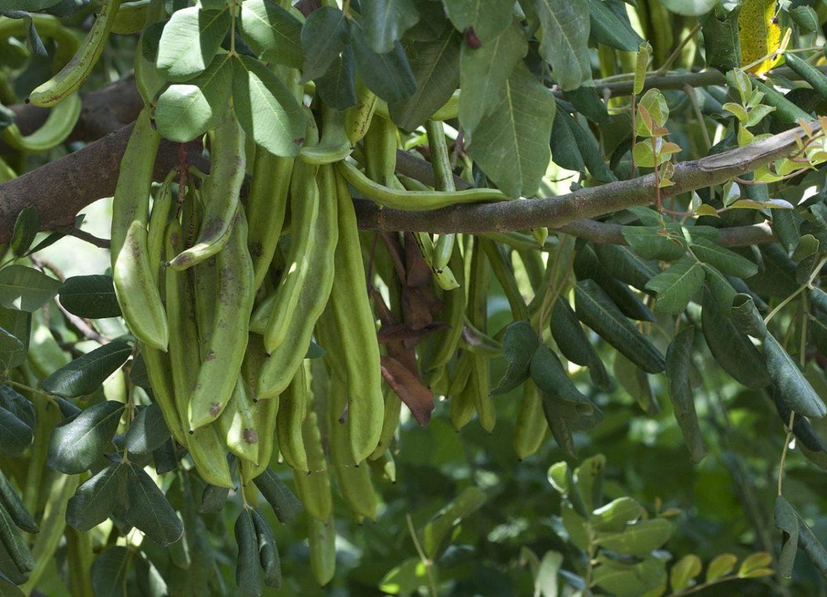 Frutos del algarrobo o Ceratonia siliqua