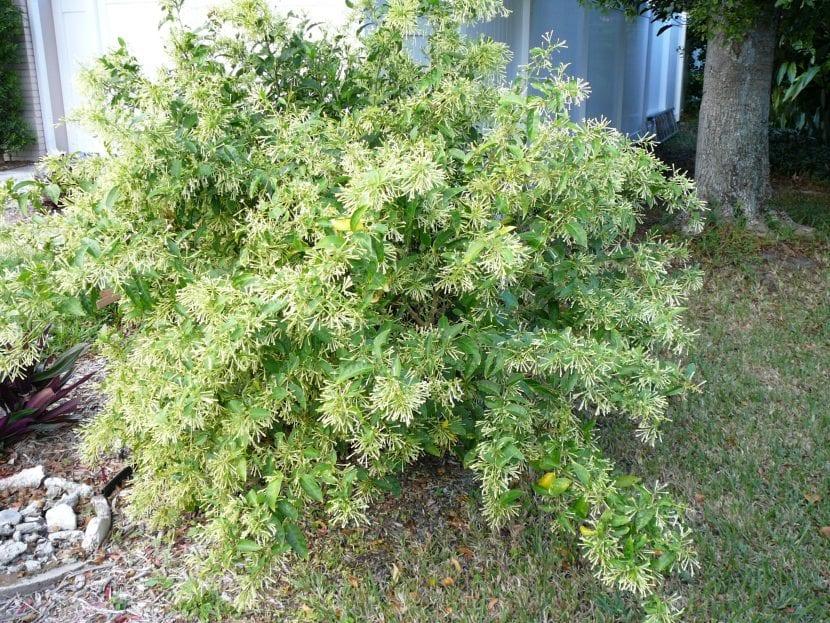 Planta Cestrum nocturnum