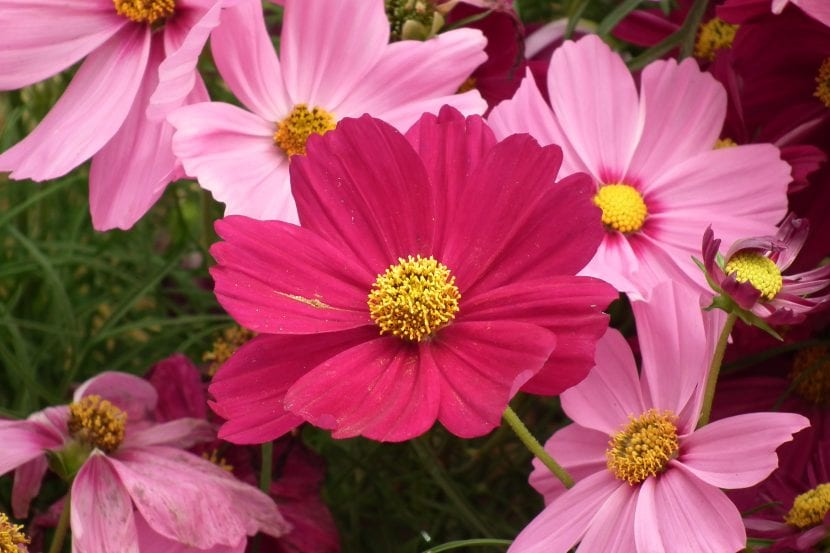 Grupo de flores de cosmos